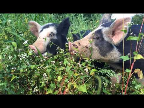 Buckwheat treats for the pastured pigs