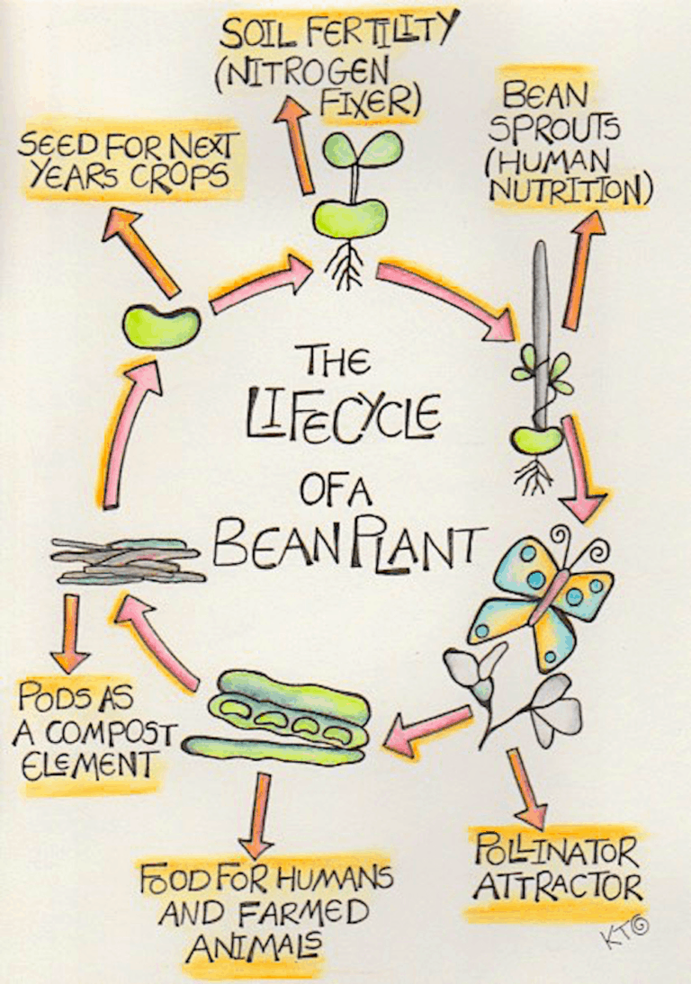 lifecycle of bean plant showing cyclic opportunity within permaculture