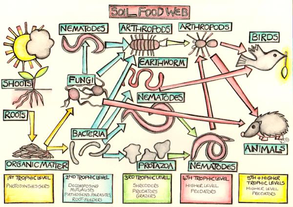 Life in the soil food web illustration by Katie Shepherd
