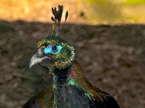 ghost pheasant with turquoise around eye