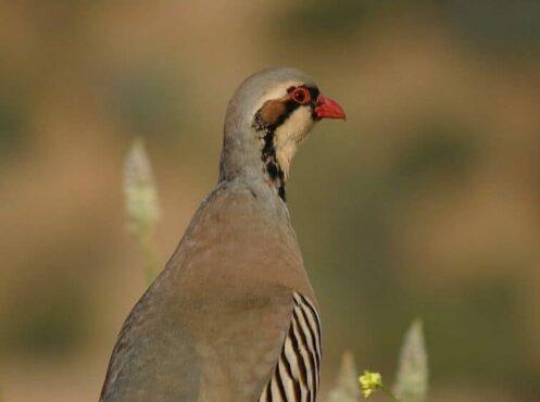 chukar bird with stripes on chest