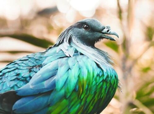 nicobar- turquoise and green pigeon
