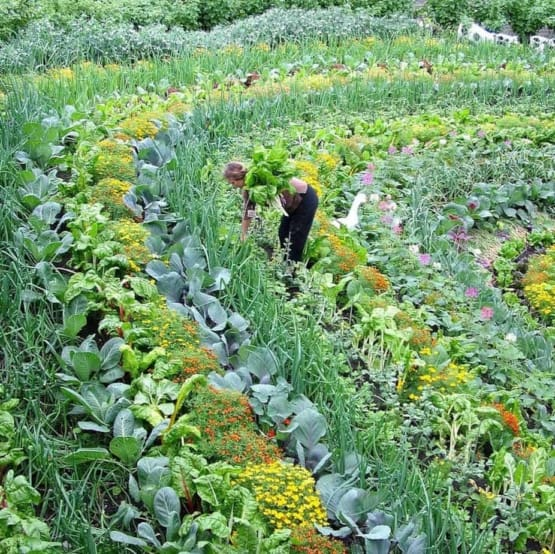gardener harvesting contoured beds with intermixed flowers and crops at the Eden Project