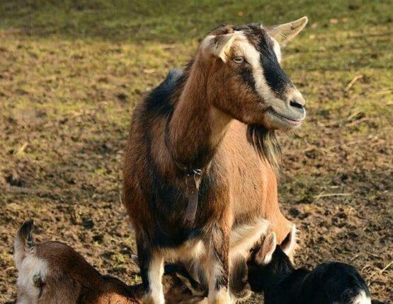 mother goat feeding her kids