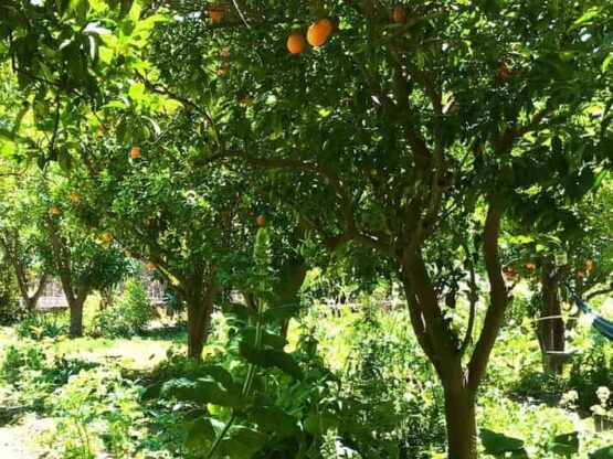 food forest citrus tree guild of companion plants