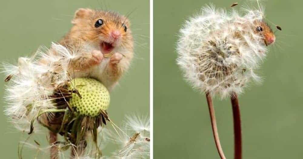 field mouse in dandelion