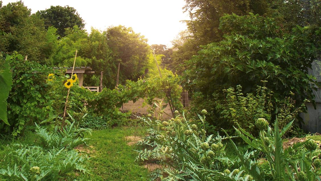 artichokes in magical organic farm oregon