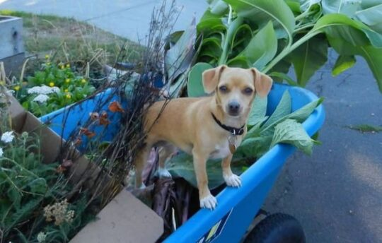 Chihuahua in trailer with plants and pots