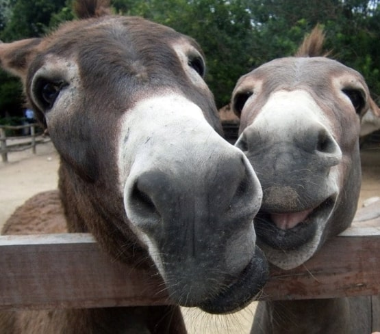 two donkeys looking over fence smiling