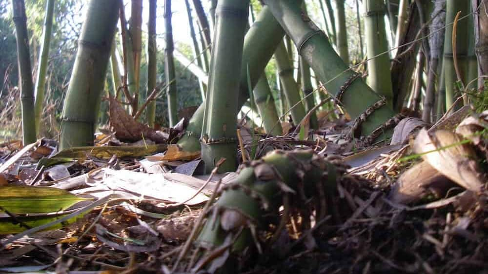 close up of bamboo roots