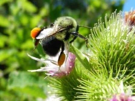 bumble bee on burdock with pollen