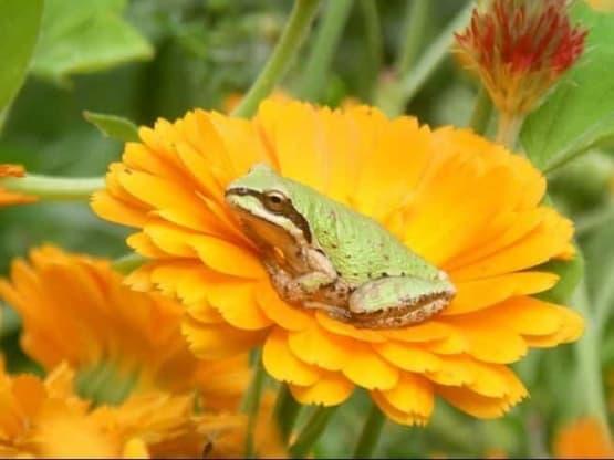 green frog in calendula flower