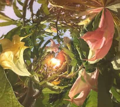 datura flower fractal