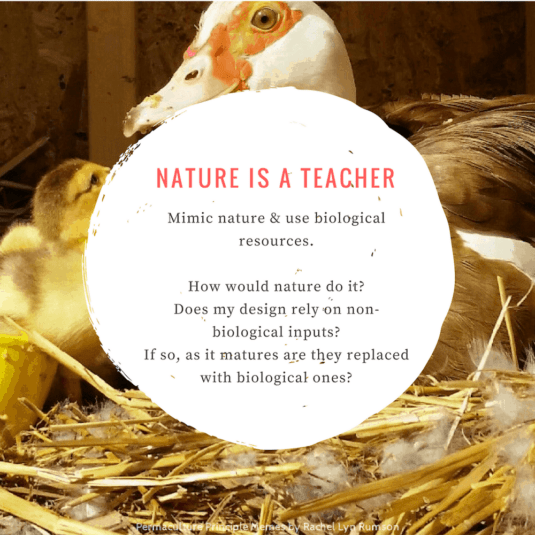 duck and her ducklings showing using nature as our teacher