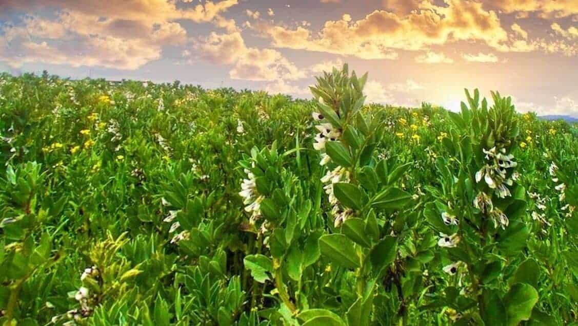 field of fava beans cover crop blooming