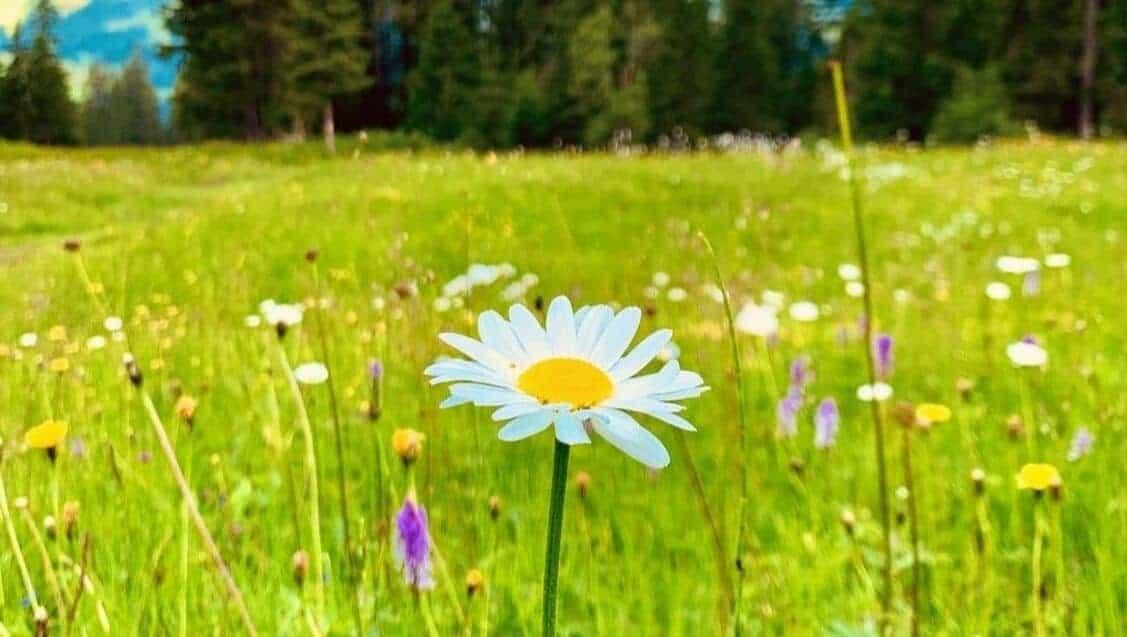 daisy on a meadow