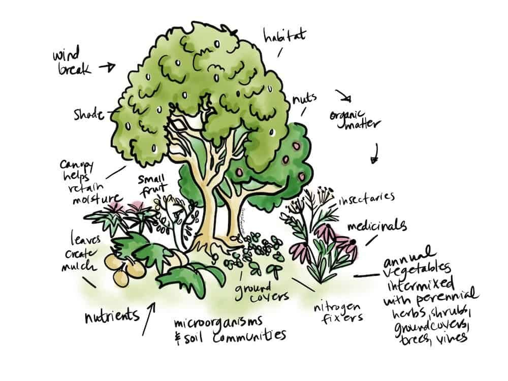 permaculture garden guild companion planting illustration by Heather Jo Flores