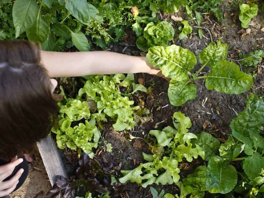 young woman planting chard
