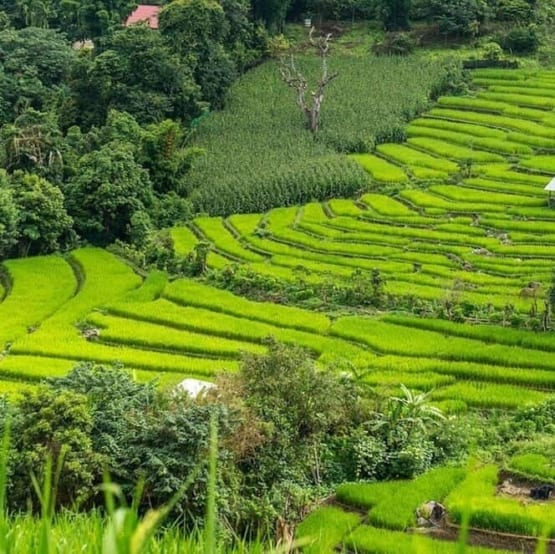 rice fields in Thailand with wooded areas