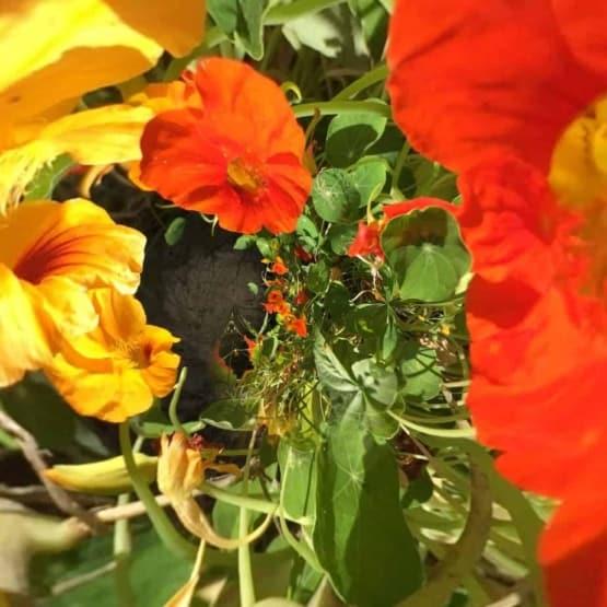 nasturtium flower fractal