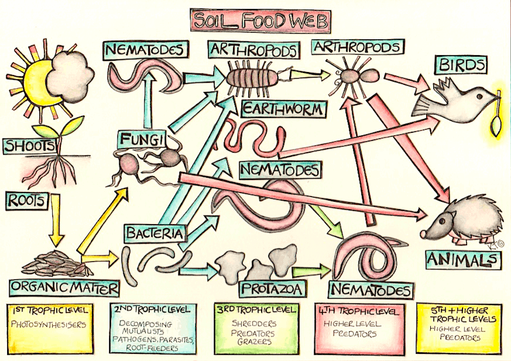 Life in the soil food web illustration by Katie Shepherd
