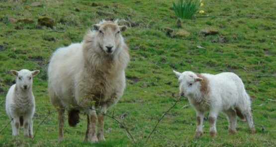 a ram with sheep and lamb in grassland