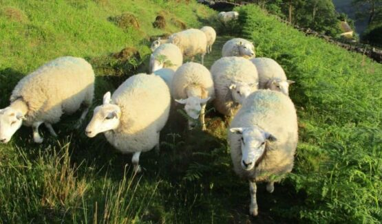flock of sheep walking in ferns and grassland