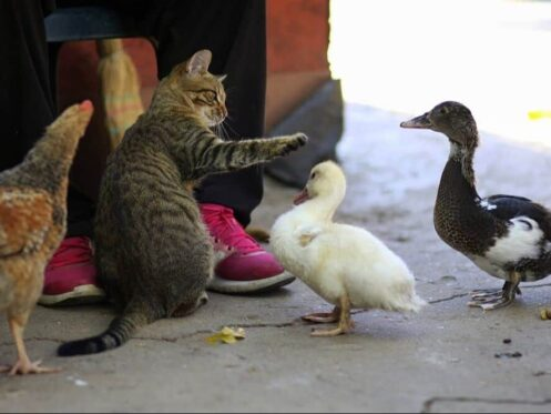 kitten playing with ducks