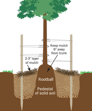 how to plant a tree infographic