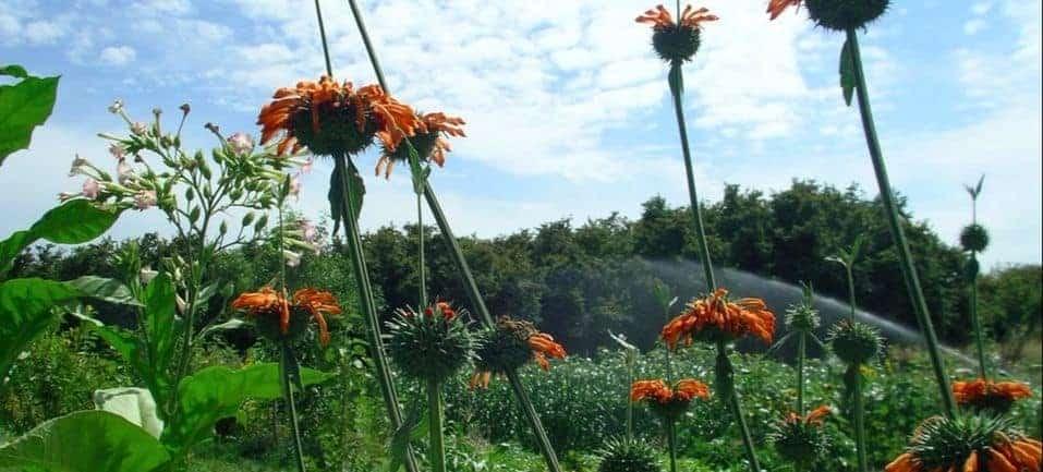 filbert hedge on organic farm in oregon