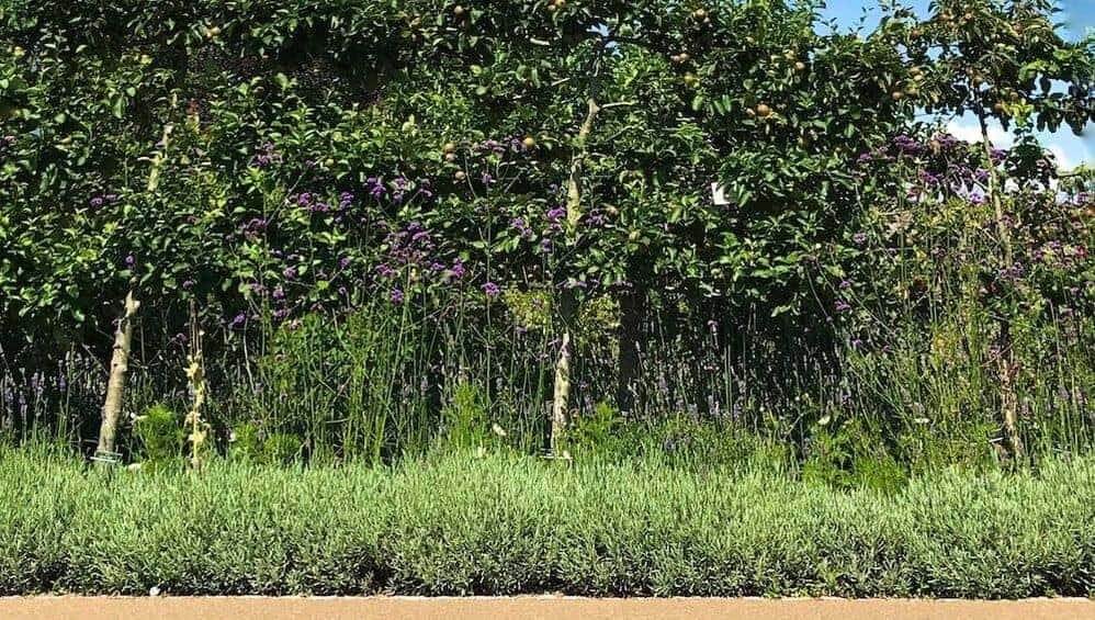 lavender hedge with trees in forest garden