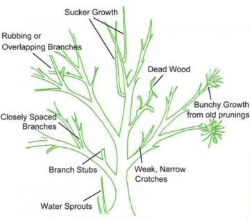 how to prune shrubs infographic