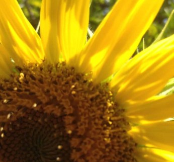 close up of a sunflower